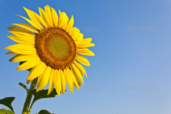 Blooming sunflower in the blue sky background - Stock Photo - Images