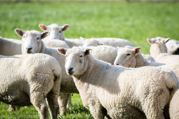 successful factors of little sheep in Why societies collapse environmental factors clearly play a role based particularly on sheep.