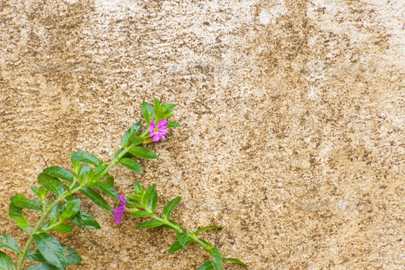 beautiful purple flowers on very old wall - Stock Photo - Images