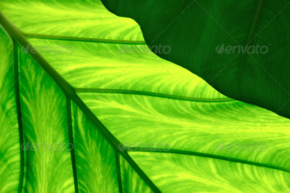 Leaves - Close up of Colocasia esculenta – Taro - Stock Photo - Images