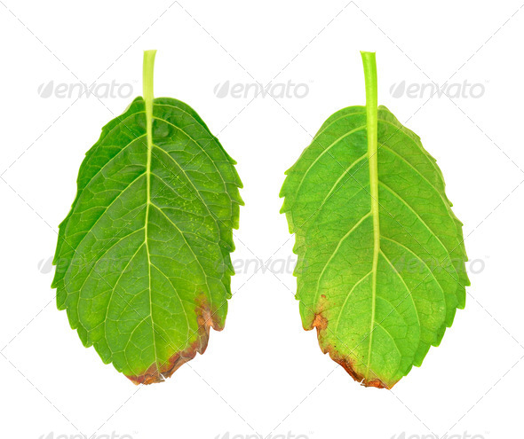 Flower leaves - diseased leaf of  Hydrangea serrata Blue Bird – fungal attacked - isolated - Stock Photo - Images