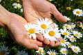hands holding a daisy - PhotoDune Item for Sale
