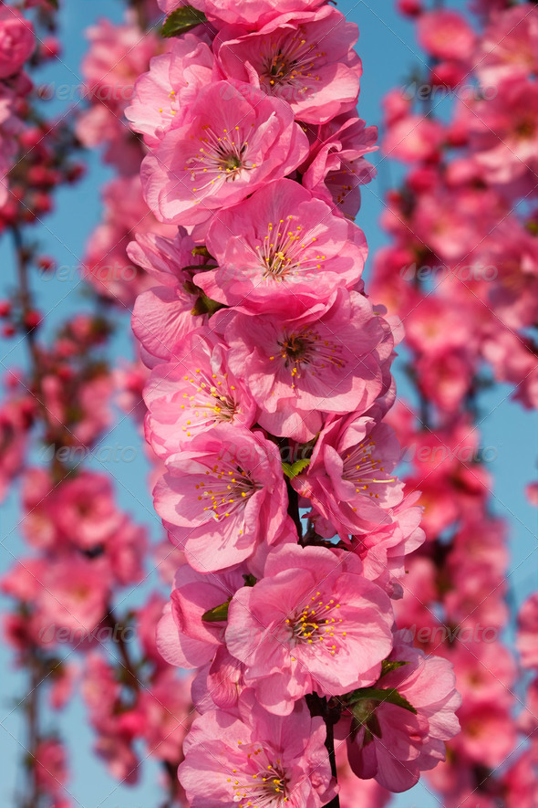 Sakura flowering - Stock Photo - Images
