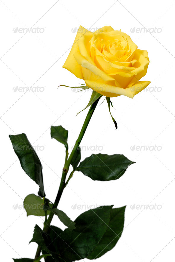 Single yellow rose on a white background - Stock Photo - Images