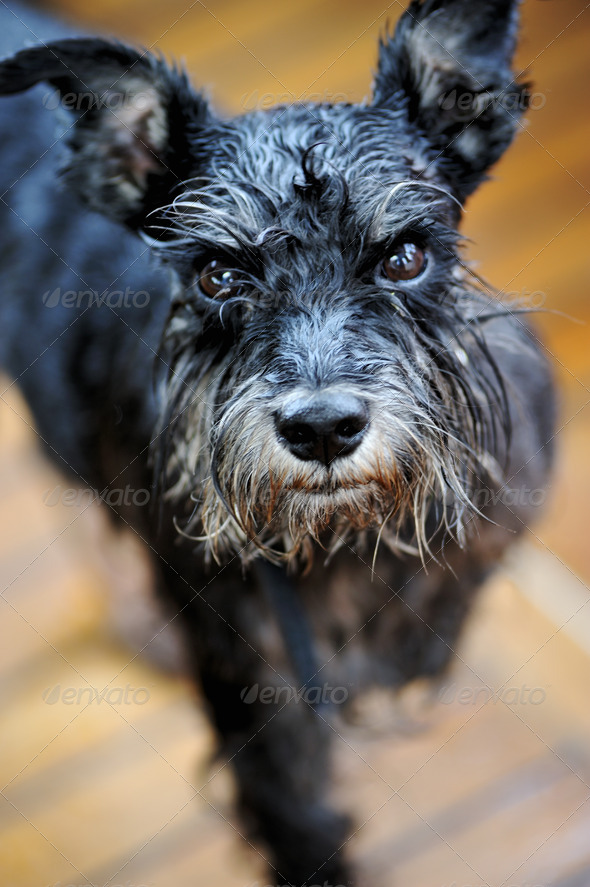 Wet Zwergschnauzer - Stock Photo - Images