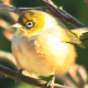 Bird, Waxeye on branch (full HD) - VideoHive Item for Sale