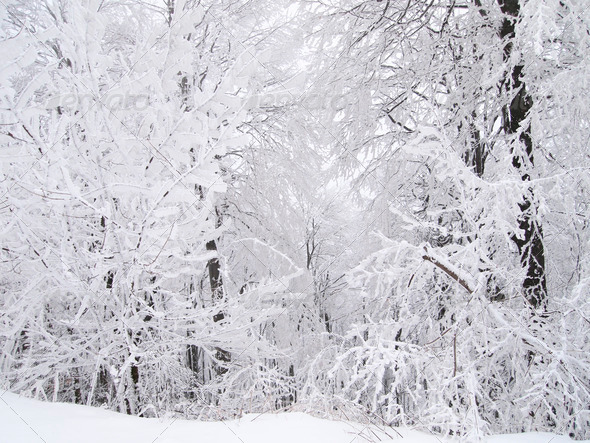 Snowy forest - Stock Photo - Images