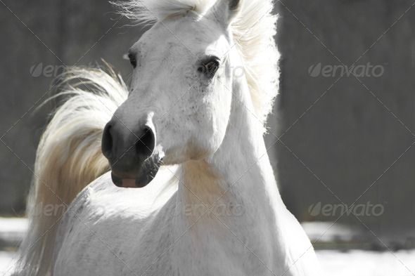 white horse - Stock Photo - Images