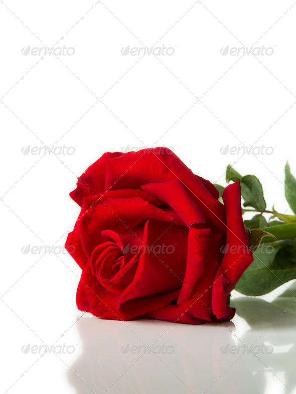 Red rose laying on White background - Stock Photo - Images
