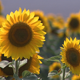 Two sunflowers - VideoHive Item for Sale