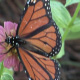 Monarch butterfly on flower - VideoHive Item for Sale
