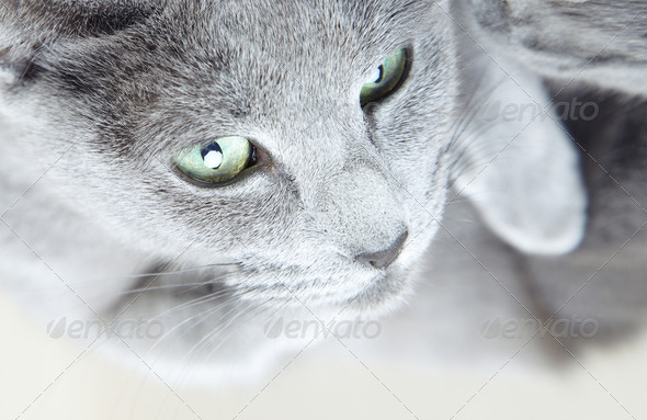 Gray pussy cat - Stock Photo - Images
