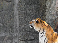 Siberian Tiger in front of the waterfall in a zoo - PhotoDune Item for Sale