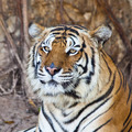 Siberian Tiger resting in a zoo - PhotoDune Item for Sale