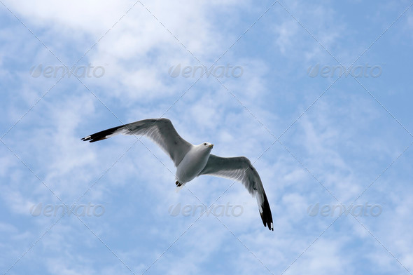 seagull flying in a cloudy sky - Stock Photo - Images