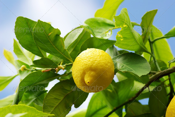 Yellow lemon on lemon tree - Stock Photo - Images