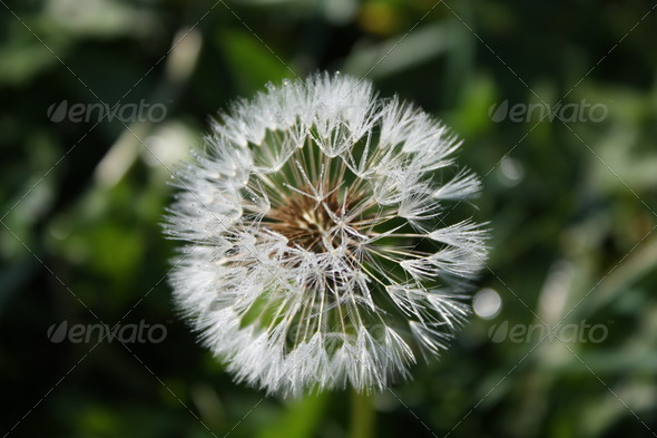 A Dandelion flower - Stock Photo - Images