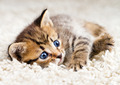 Funny Kitten in Carpet  - PhotoDune Item for Sale