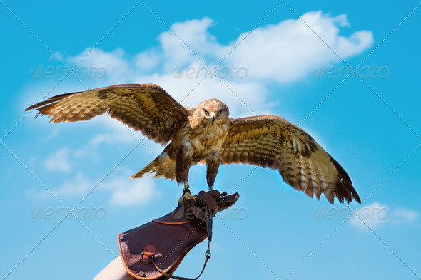 Portrait hawk on falconer gloves - Stock Photo - Images