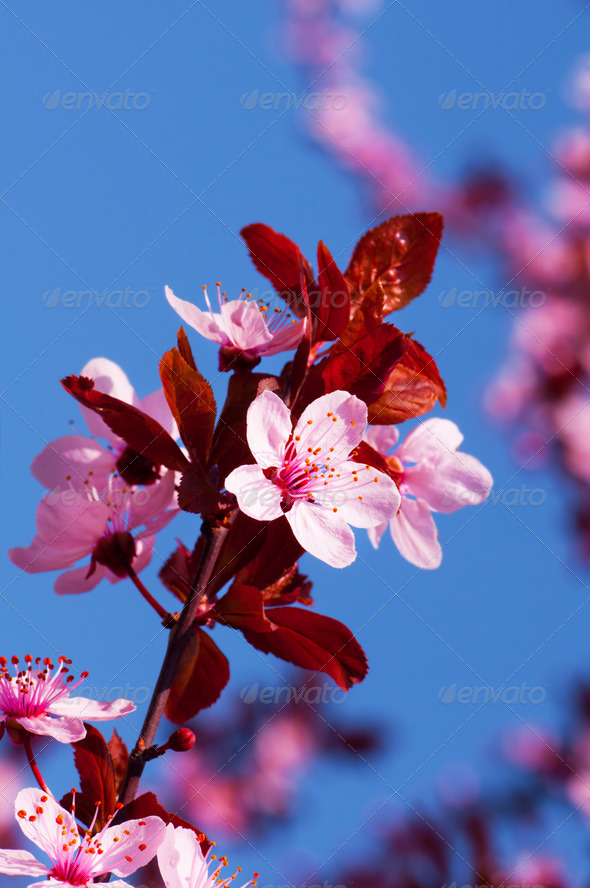 Spring cherry blossoms - Stock Photo - Images