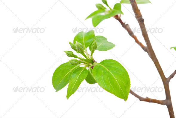 Branch apple tree with spring buds isolated on white - Stock Photo - Images