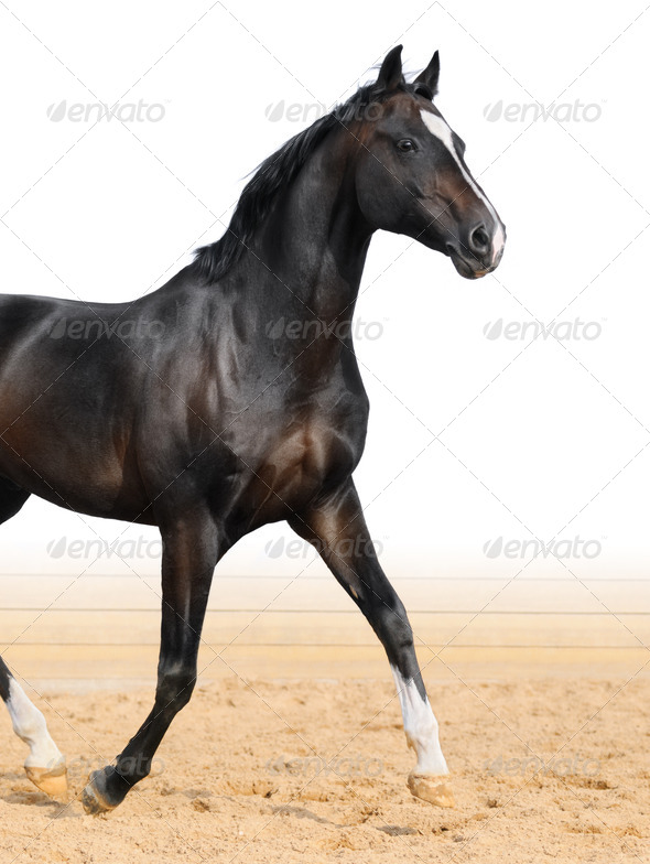 Black Oldenburger Horse - Stock Photo - Images