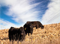 angus cattle - PhotoDune Item for Sale