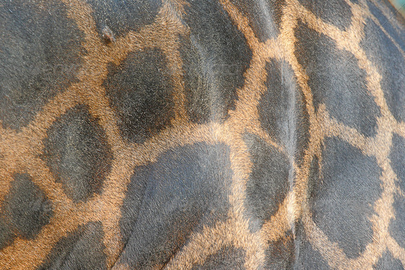 Leather giraffe - Stock Photo - Images