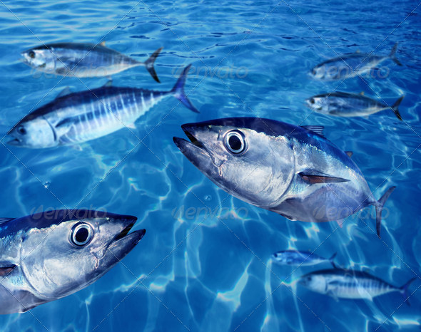 Bluefin tuna Thunnus thynnus fish school underwater - Stock Photo - Images