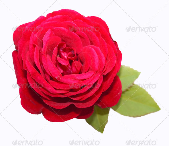 Red rose with green leaves - Stock Photo - Images