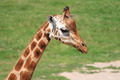 young giraffe - PhotoDune Item for Sale
