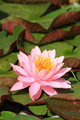 water lilly - PhotoDune Item for Sale
