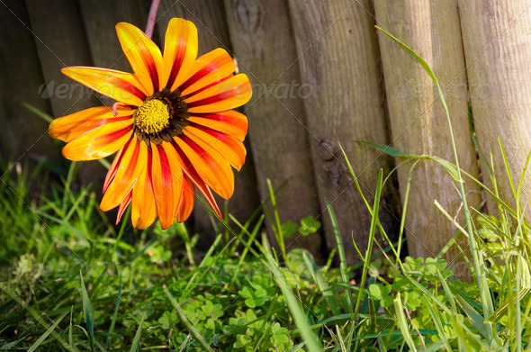 Flower on fence - Stock Photo - Images