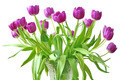 violet tulips - PhotoDune Item for Sale