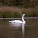 Swan Floats Across Pond - VideoHive Item for Sale
