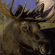 Close up of Bull Moose - VideoHive Item for Sale