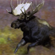 Bull Moose During Rut 2 - VideoHive Item for Sale