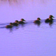 Mallard Ducklings 2 - VideoHive Item for Sale