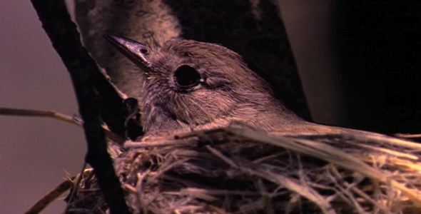 [VideoHive 1582638] Tiny Songbird on Nest 2 | Stock Footage