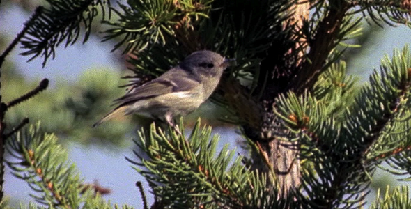 [VideoHive 1582643] Female Ruby Crowned Kinglet 3 | Stock Footage