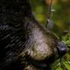 Black Bear Eating Berries 5 - VideoHive Item for Sale