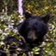 Black Bear Eating Berries in a Tree - VideoHive Item for Sale