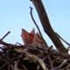 Ravens Nest with Chicks - VideoHive Item for Sale