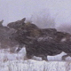Herd of Moose in Winter - VideoHive Item for Sale