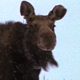 Cow Moose with Collar - VideoHive Item for Sale