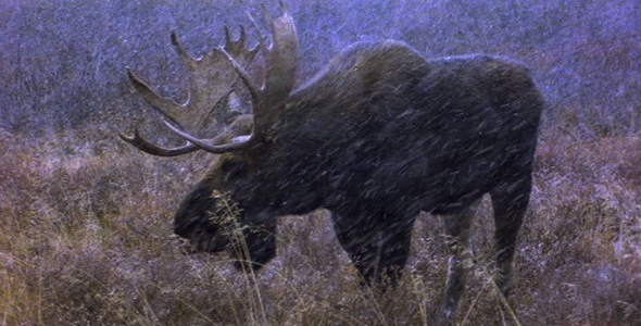Bull Moose in Early Winter VideoHive Stock Footage  Weather 1582941