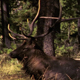 Bull Elk in Forest - VideoHive Item for Sale