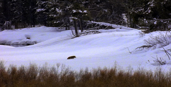 [VideoHive 1583067] Coyote in Snow | Stock Footage
