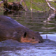 Beaver Swimming Over Dam - VideoHive Item for Sale