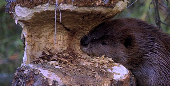 VideoHive Beaver Chewing Tree 2 1583140